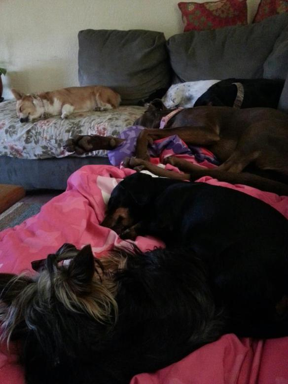 All six dogs totally sacked out after their sleepless nights of cats gone crazy.