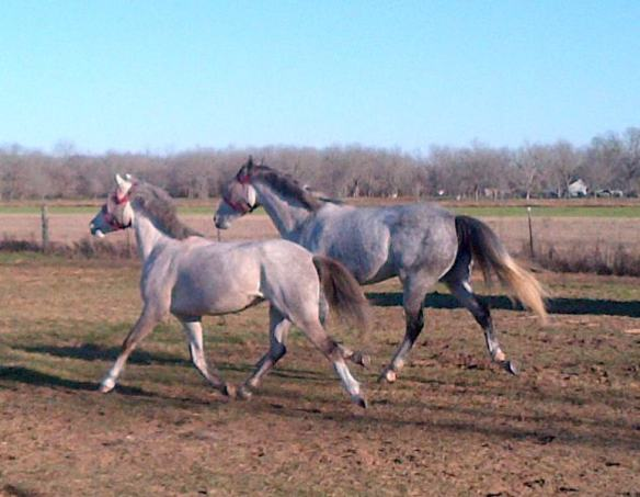 For the last time, the grey girls make their way to the pasture.  Mimi's all-star trot should take her to the big time.
