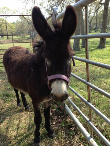 We have a date with this full size donkey named Jack on Saturday. Bet he comes home with us!