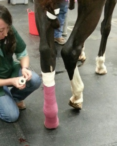 The new-hurt foot being re-sown and 'casted'.