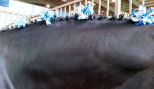 The tiny braids on his broad neck with his special Leadline ribbons.