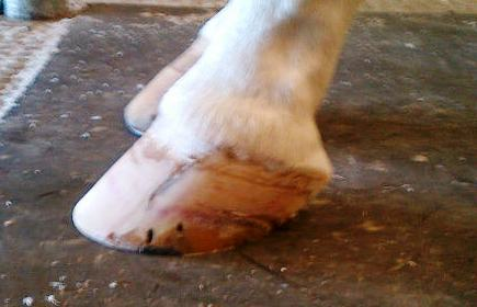 The hoof today-completely grown back-the holes are nail holes from his old shoes.  The line will probably remain as a reminder of the year's the crack was in this hoof.