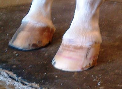The pink line halfway up the hoof is a bruising or surgical scar.  We grew a brand new hoof!