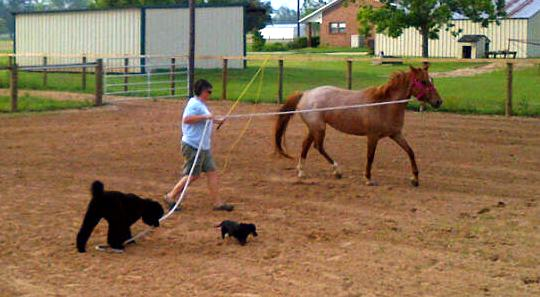 Lungeing the new Pixie pony helped out by my team of Kona (holding the rope for me) and little Lula.