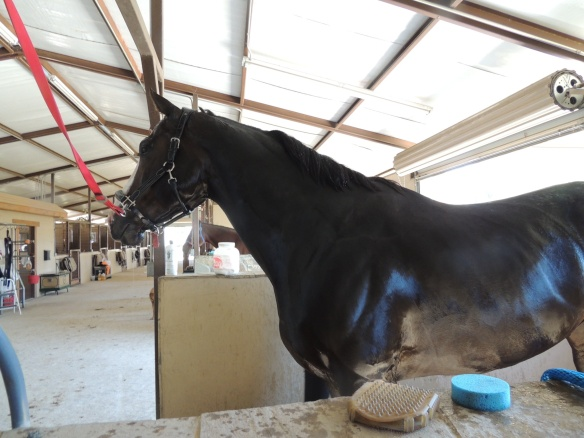 Standing in the grooming stall, just like a show horse.