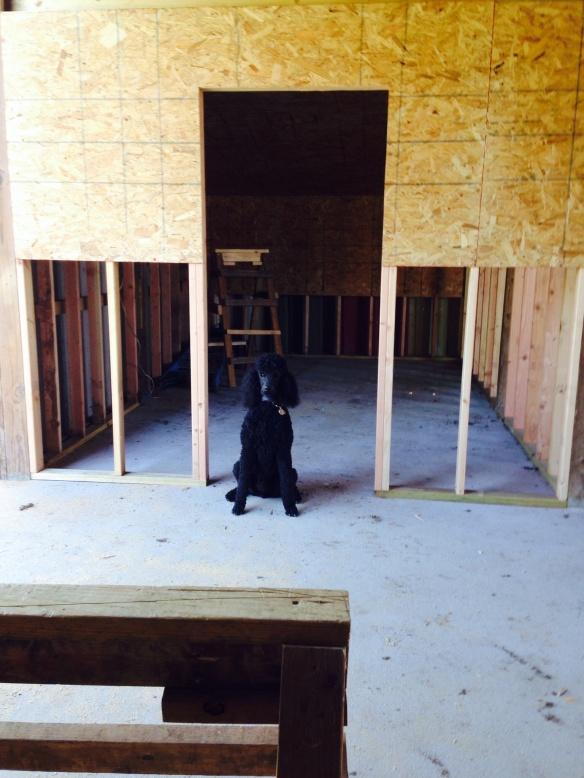 Kona  posing by the new tack room.