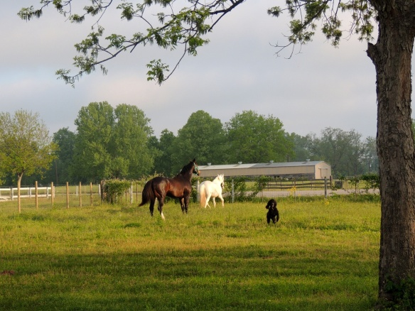 Bruno, Snow and Kona making their way to the pasture for the first time.