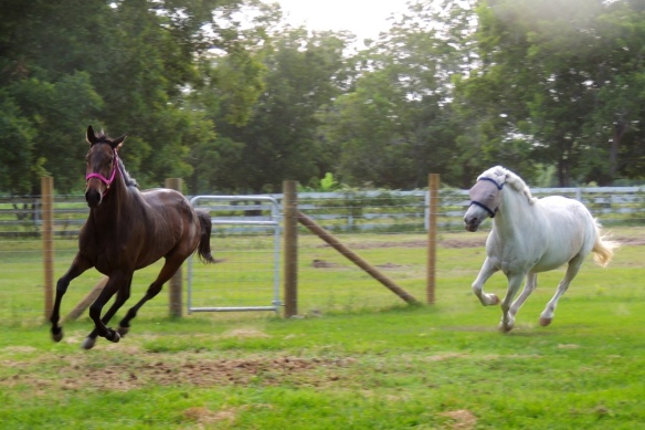 Showing that thoroughbred speed as she easily out runs the white pony.