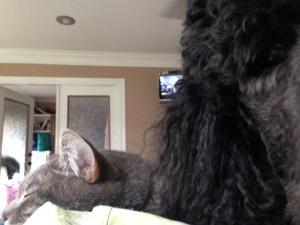 Poodle Cat?