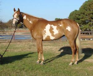 Nova, a paint mare, registered as Investment Art, is a pretty good looking girl.