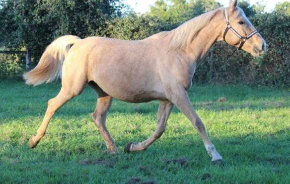 Fargo showing off her pretty trot in the pasture.