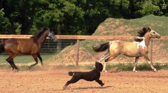 The race is on and Kona is doing his best to keep up with Betty Sue and Piper.
