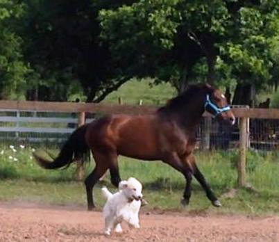 Maui running with Piper Pony.
